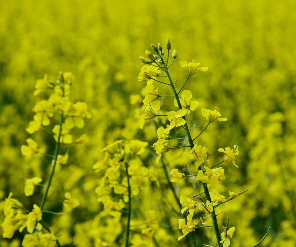 oilseed-rape-3366446