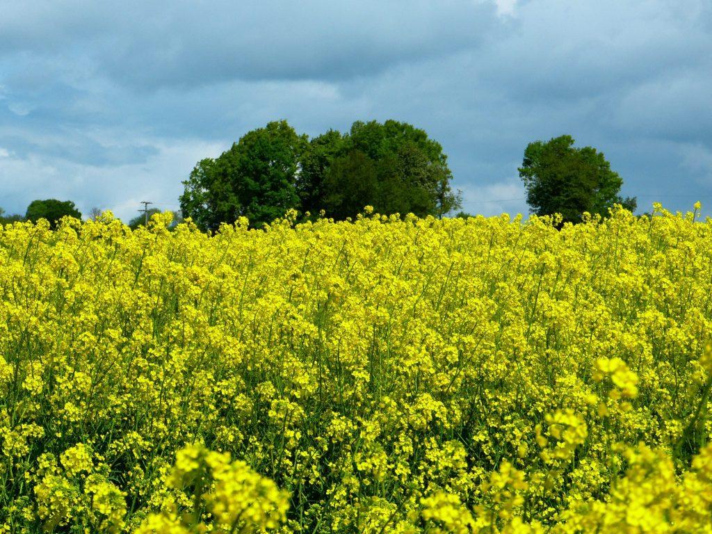 oilseed-rape-383282